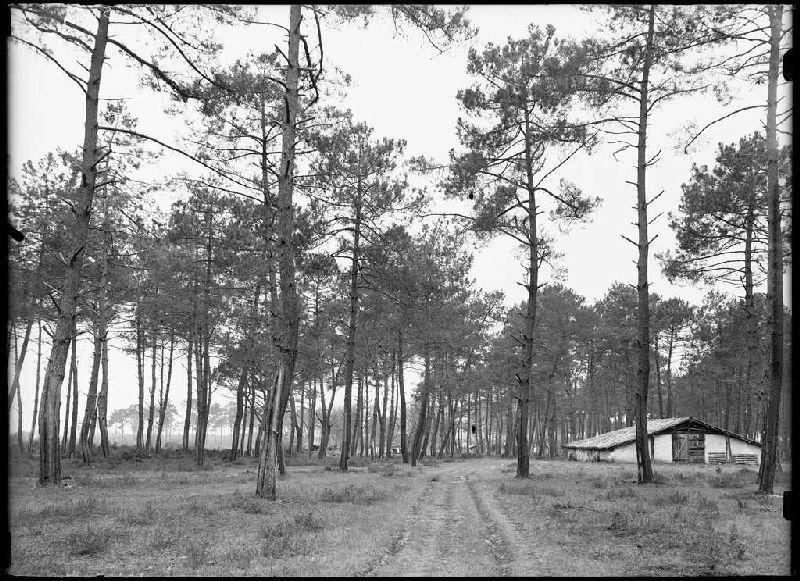 Parc Blanc, grands pins - Grué (Lüe) (Titre attribué)