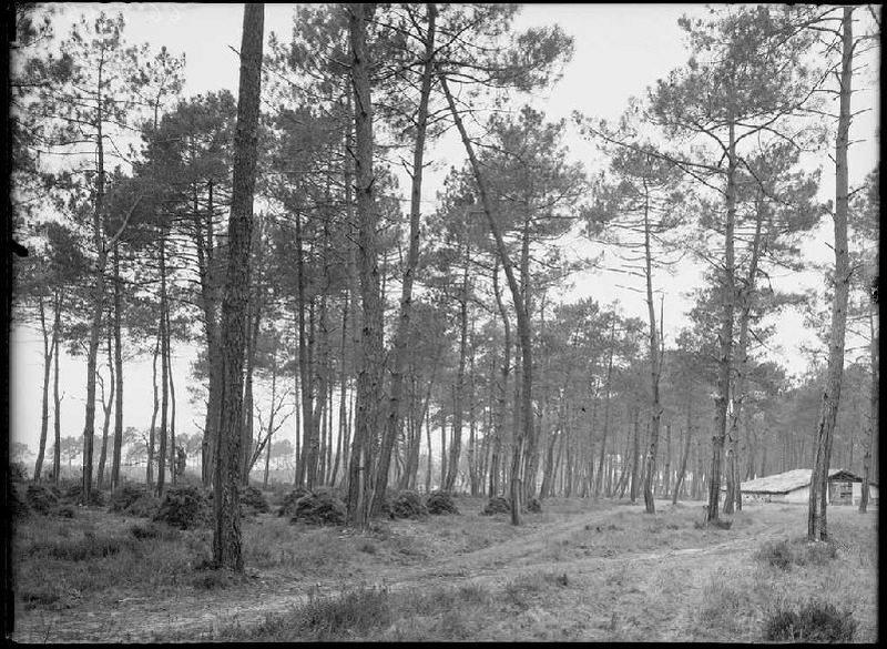 Parc Blanc, grands pins - Grué (Lüe) (Titre attribué)_0