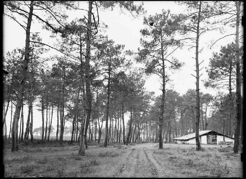 ARNAUDIN Félix : Parc Blanc, grands pins - Grué (Lüe) (Titre attribué)