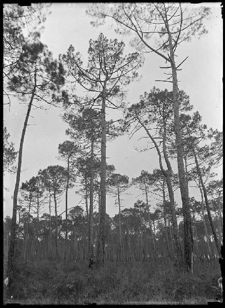 Vieux pins - Baxentes (Lüe) (Titre attribué)