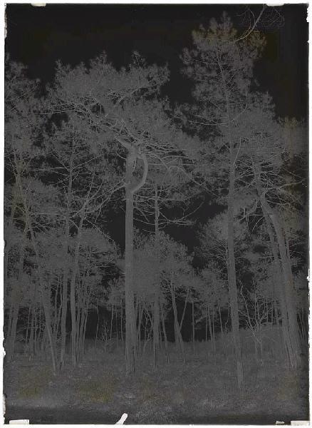 ARNAUDIN Félix : Vieux pins - Baxentes (Lüe) (Titre attribué)