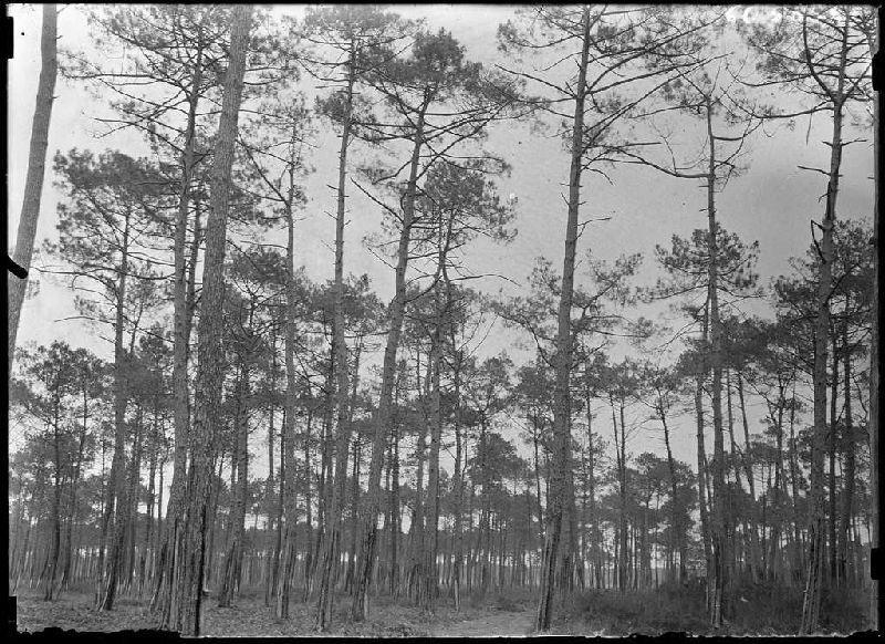 Vieux pins - Baxentes (Lüe) (Titre attribué)_0