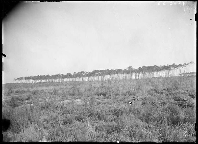 ARNAUDIN Félix : Vieux pins - Sègue (Le Muret) (Titre attribué)