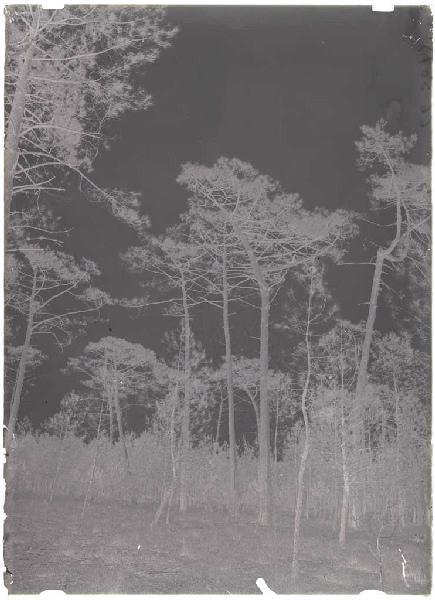 ARNAUDIN Félix : Grands pins - La Vignolle (Lüe) (Titre attribué)