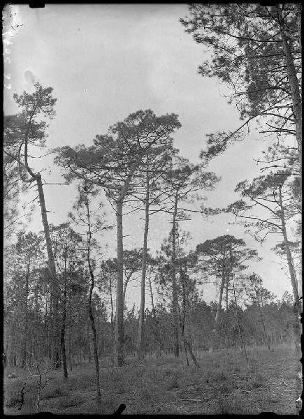 Grands pins - La Vignolle (Lüe) (Titre attribué)_0