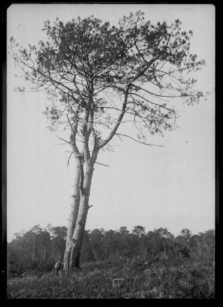 Grands pins de Guentes - La Vignolle (Lüe ?) (Titre attribué)_0