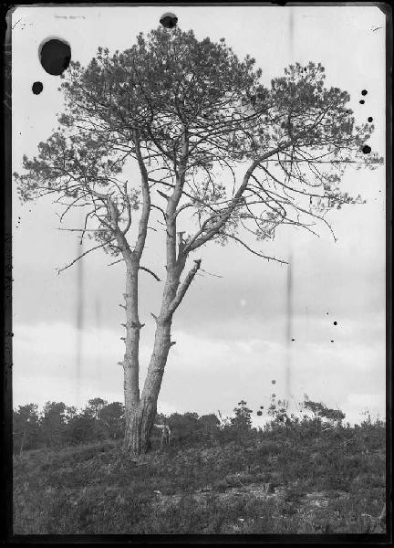 Grands pins de Guentes - La Vignolle (Lüe ?) (Titre attribué)