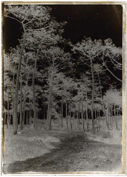 ARNAUDIN Félix : Grands pins et charbonnière (Titre attribué)