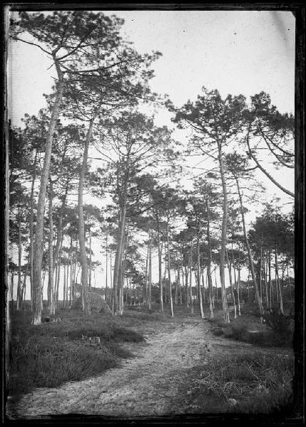 Grands pins et charbonnière (Titre attribué)_0