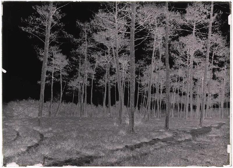 Grands pins gemmés - Guidenson (Commensacq) (Titre attribué)