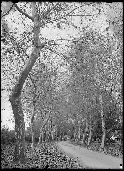ARNAUDIN Félix : Platanes de la route de Sabres - Commensacq (Landes) (Titre attribué)