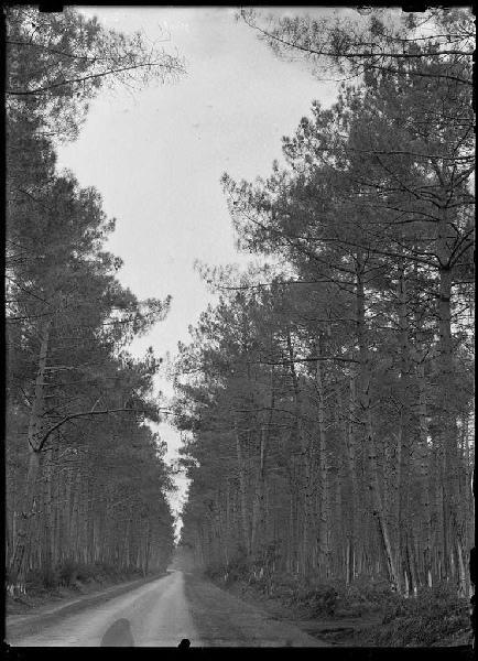 Pins d'Aristide Lamarque - Guisoua (Commensacq) (Titre attribué)