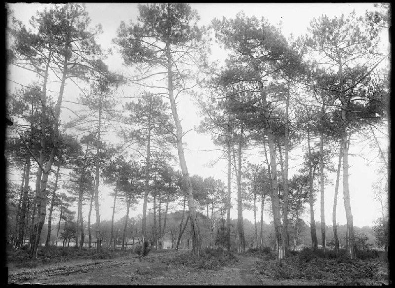 Maison Maubourguet et grands pins - Grué (Lüe) (Titre attribué)_0