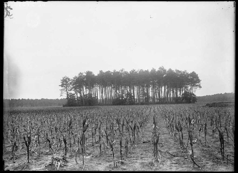 Pins du champ Lou Segot - Lindor et Boyre (Labouheyre) (Titre attribué)