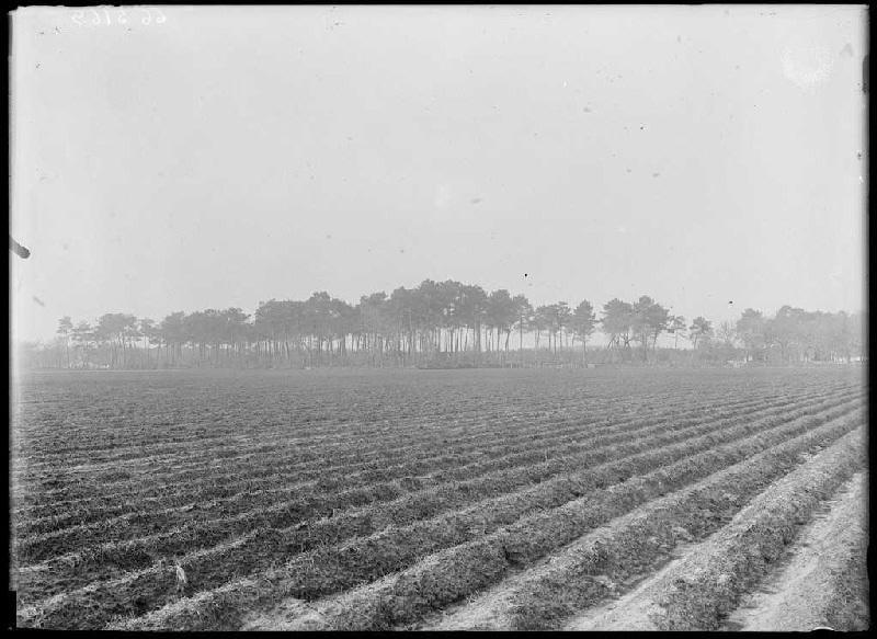 Vieux pins de Grué - Grué (Lüe) (Titre attribué)