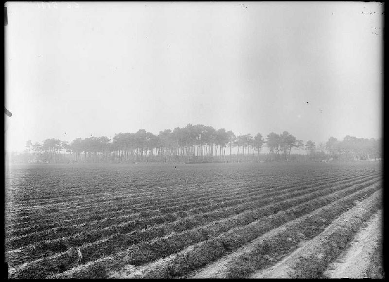 ARNAUDIN Félix : Vieux pins de Grué - Grué (Lüe) (Titre attribué)