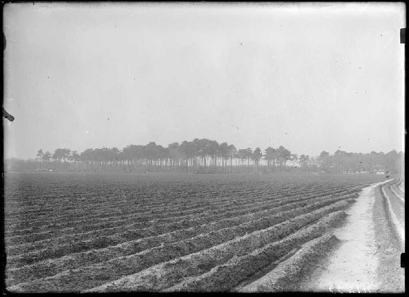 Grands pins bordant le champ - Grué (Lüe) (Titre attribué)_0