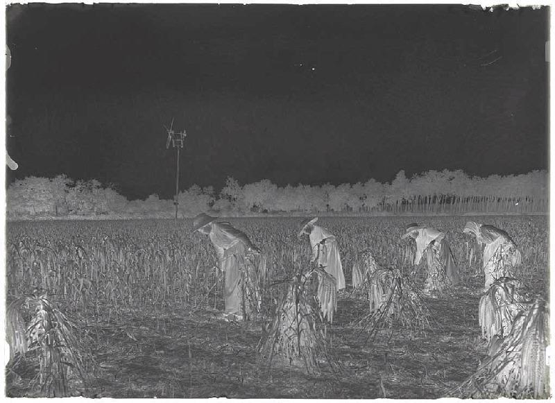 ARNAUDIN Félix (photographe) : Récolte du panis - Grué (Lüe) (Titre attribué)