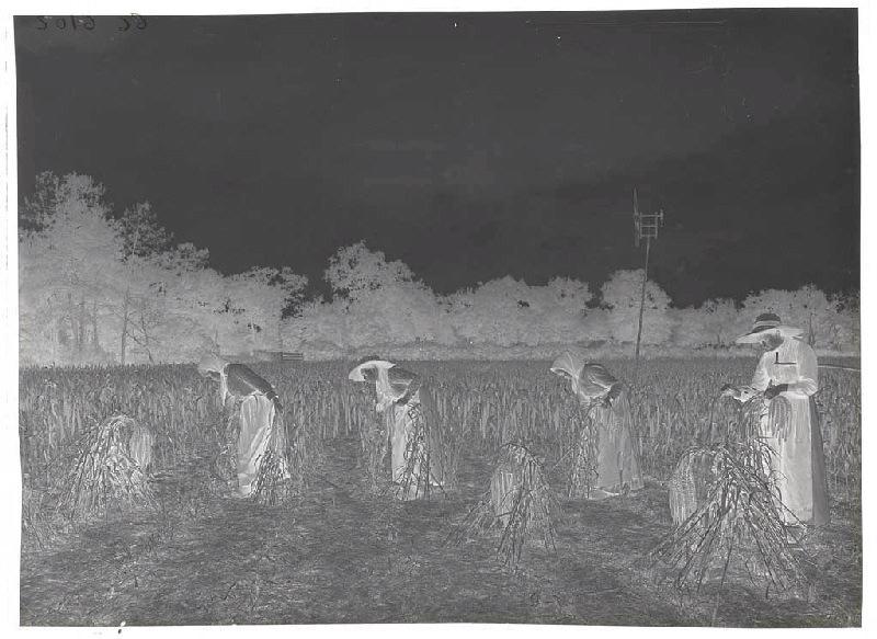 Récolte du panis, champ de Grué_0