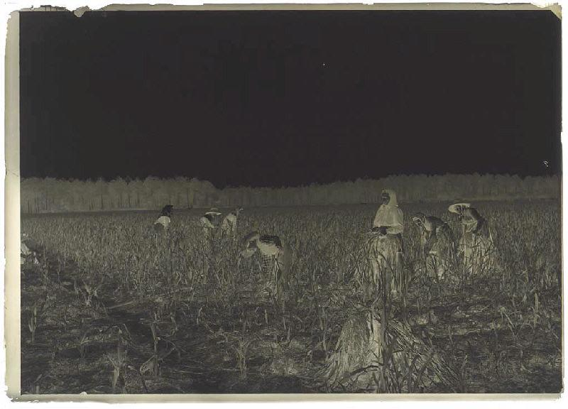 ARNAUDIN Félix (photographe) : Récolte du panis - Gaillard (Lüe) (Titre attribué)