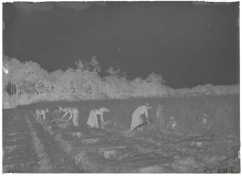 ARNAUDIN Félix (photographe) : Moisson du seigle à la faucille - Le Monge (Labouheyre) (Titre attribué)