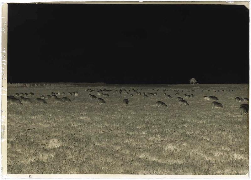 ARNAUDIN Félix (photographe) : Troupeau de brebis