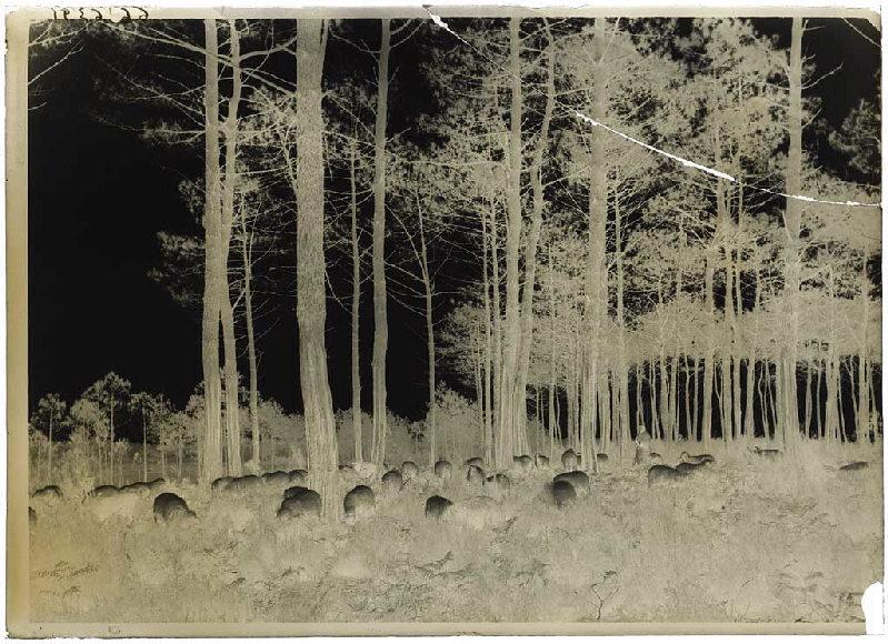 Berger et brebis dans les pins_0