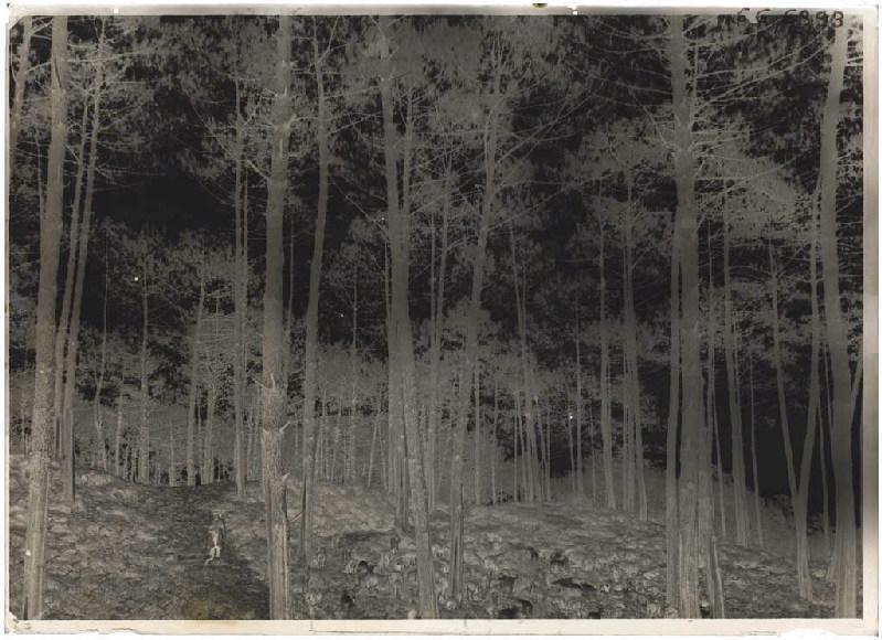 Chevrier et son troupeau dans les pins_0
