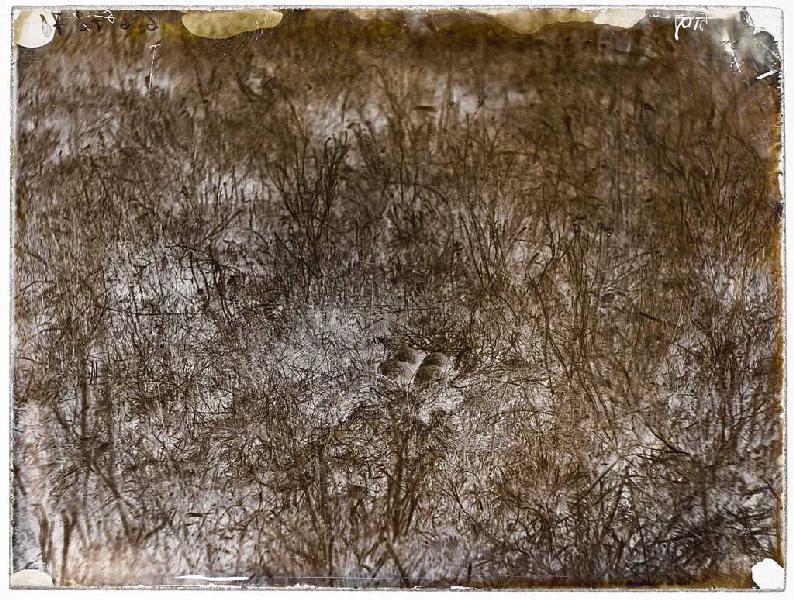 Nid de vanneaux, la Mouleyre, juillet 1874_0