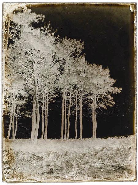 ARNAUDIN Félix (photographe) : Pins - La Garrane (Voir cliché n° 66.27.3015)