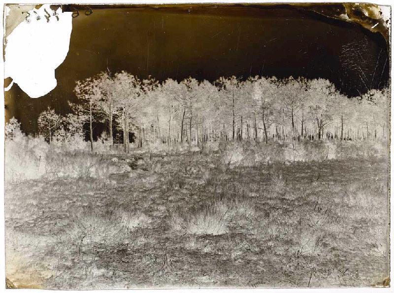 La Bruze ; Lande et pins (titre attribué)_0