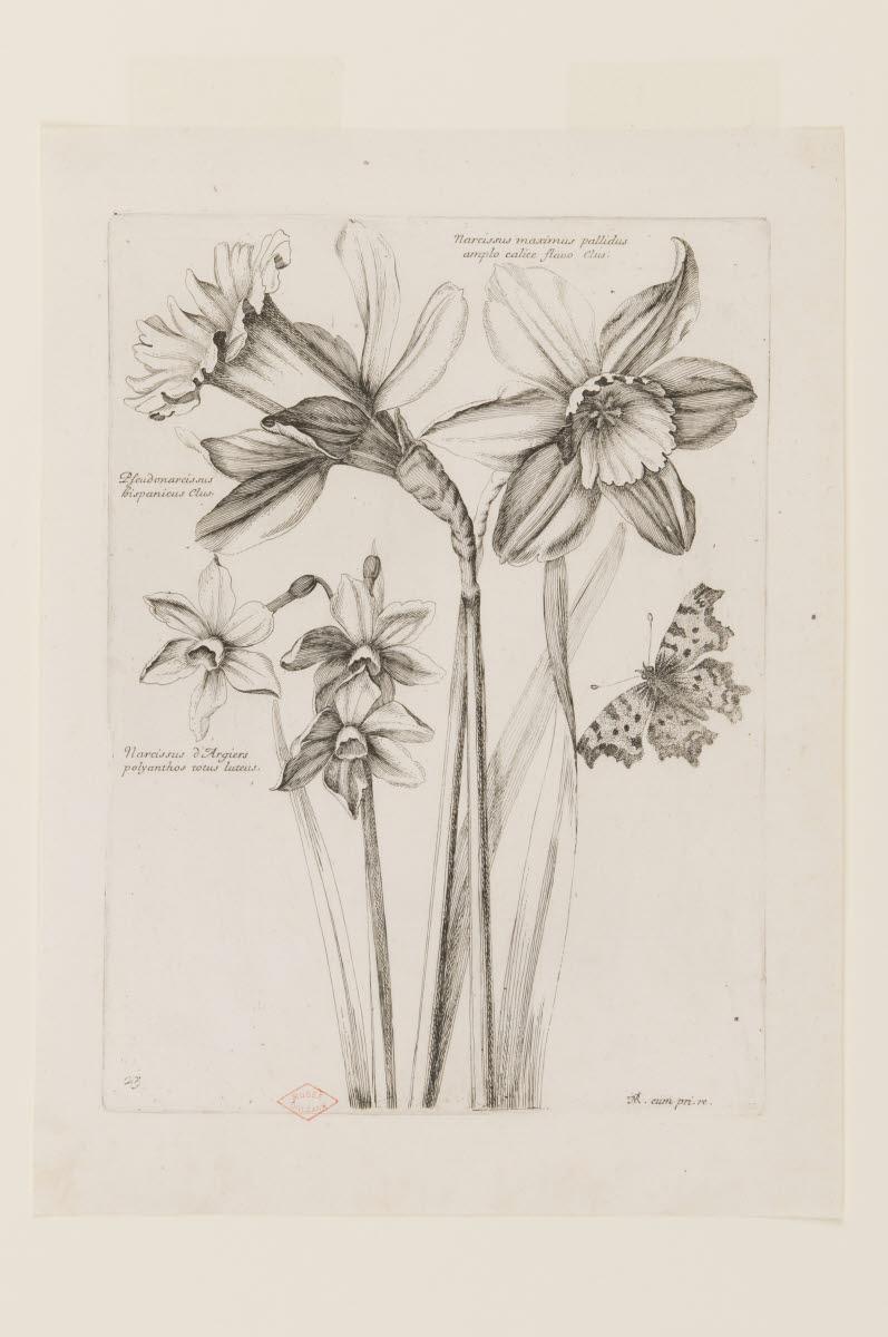 Narcisses et papillon_0