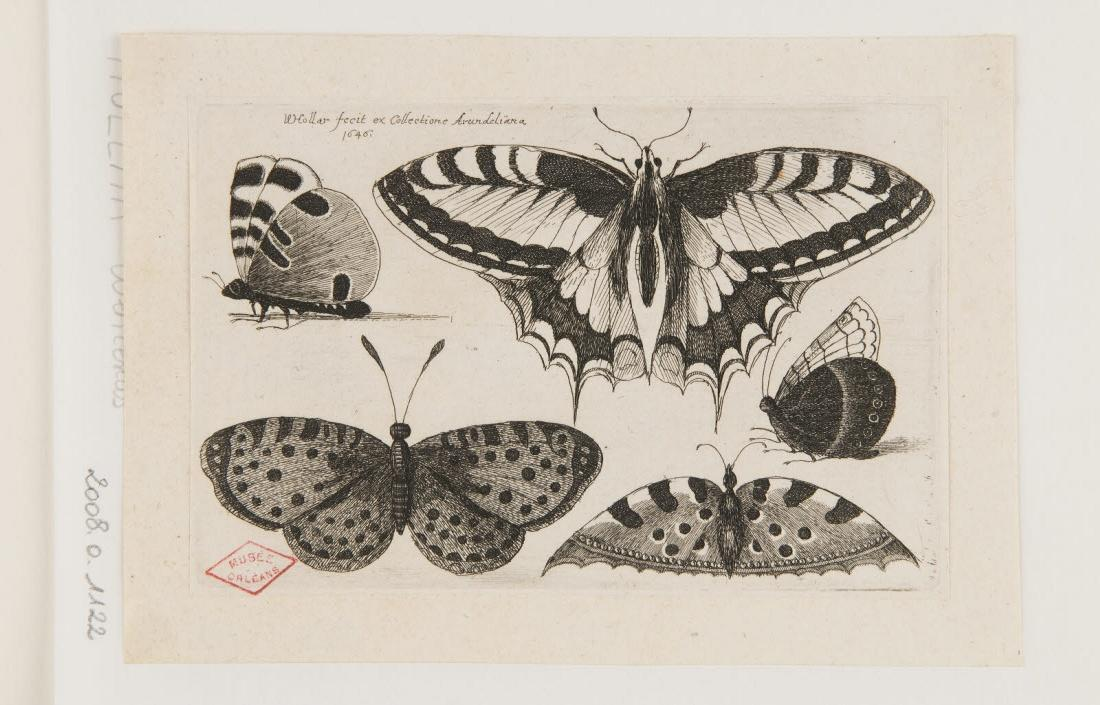 HOLLAR Wenzel (graveur, inventeur) : Papillons