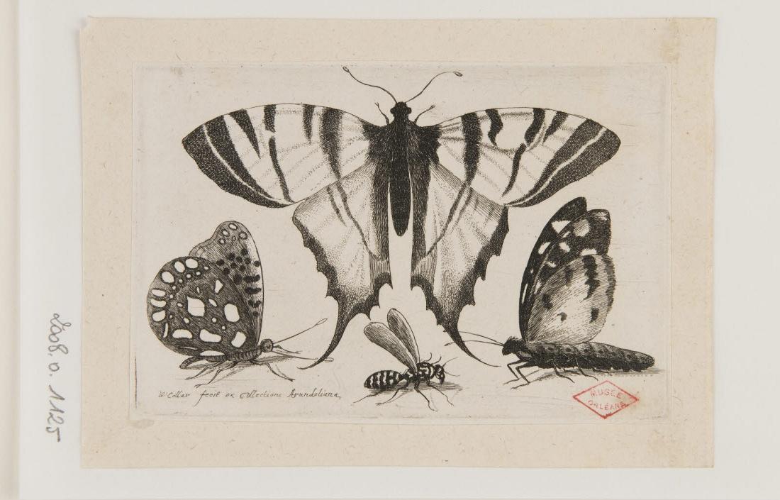 HOLLAR Wenzel (graveur, inventeur) : Papillons et guêpe
