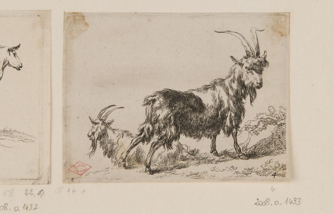 Un bouc et une chèvre_0