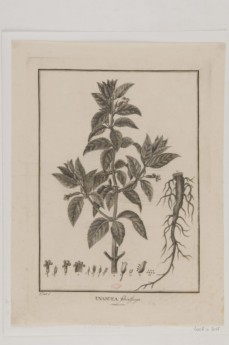 Planche botanique : Unanuea febrifuga_0