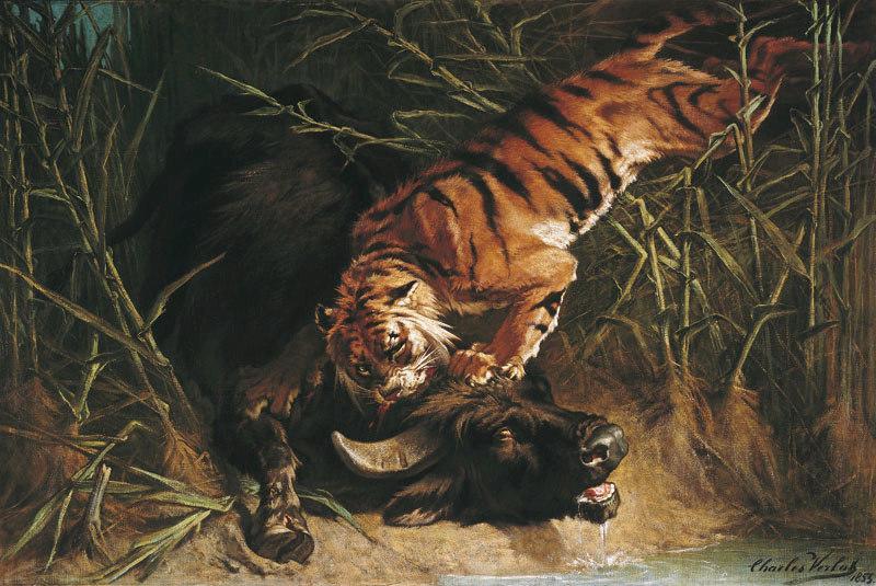 Buffle surpris par un tigre_0