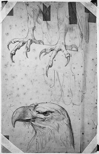 Aigle de Jupiter (Ses serres et sa tête, tournée vers la gauche)_0