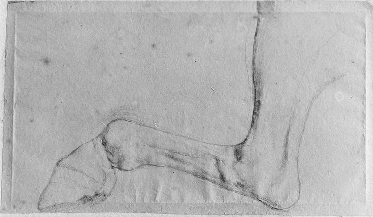 Jambe gauche d'un cheval_0