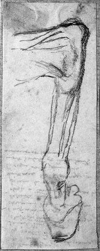 Jambe arrière d'un cheval