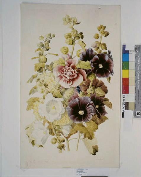 Roses trémières ; Fleurs