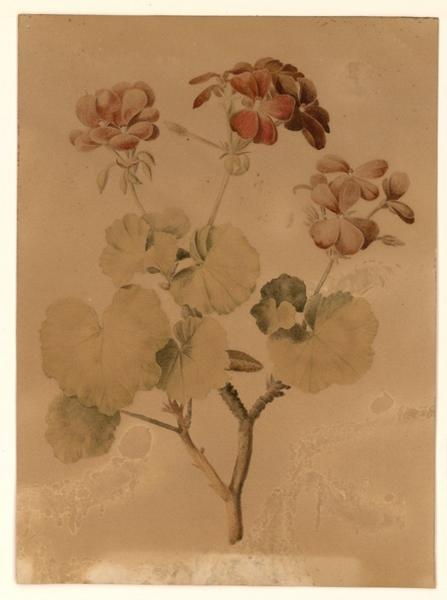 Géraniums ; Fleurs_0