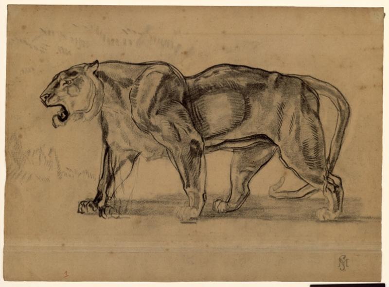 Un tigre (lionne) marchant