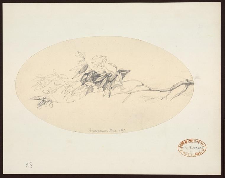 BRASCASSAT Jacques Raymond (dessinateur, peintre) : Branche d'arbre