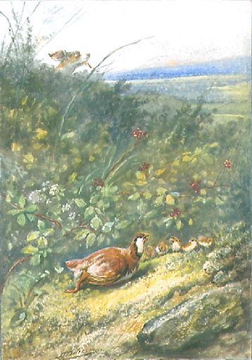 La Perdrix et ses Poussins (Discours à Madame de la Sablière (du vers 82 au vers 91): 'Quand la perdrix voit ses petits en danger et n'ayant qu'une plume nouvelle, qui ne peut fuir encor par les airs le trépas [...]' )_0