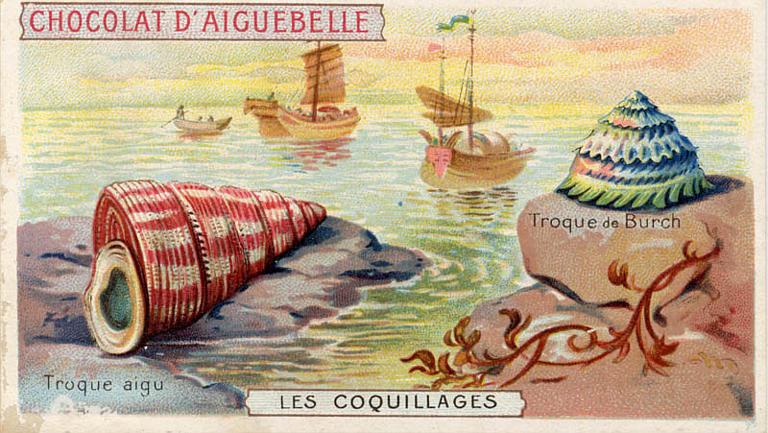 LES COQUILLAGES / Troque aigu / Troque de Burch (titre inscrit)_0
