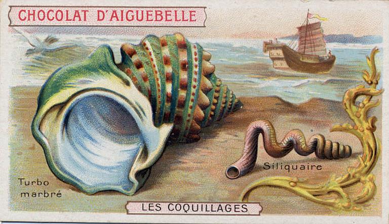 LES COQUILLAGES / Turbo / marbré / Siliquaire (titre inscrit)_0