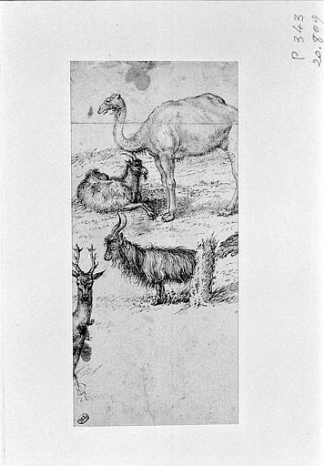 Etudes d'un dromadaire, d'une chèvre, d'un bouc et d'un cerf