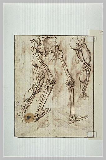 Etudes de jambes d'écorchés ou de squelettes