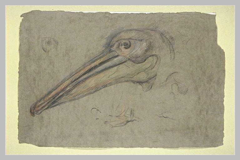 Etudes d'une tête de pélican, de profil, et détails d'une patte et d'un oeil